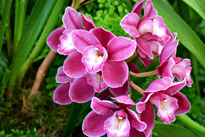 Beauty In Nature Blooming Botany Close-up Cymbidium Flower Flower Head Focus On Foreground Fragility Freshness Growth Nature No People Orchid Orchidee Orchideen Orchidées Petal Pink Pink Color Purple Softness Springtime