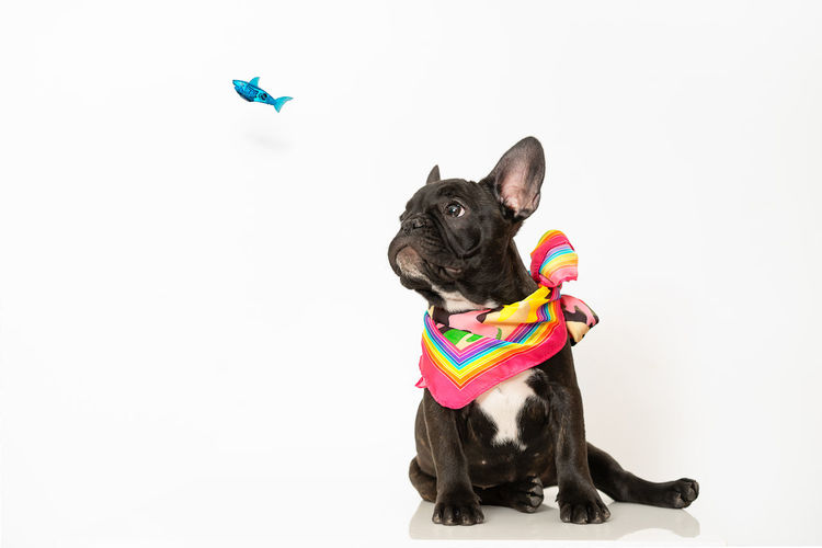 Happy New Year to all, from me, Octav, Millie and Zero. Pet Fish Dog White Background No People Pets Friendship Portrait Cute Multi Colored French Bulldog Bulldog Pampered Pets Animal Face At Home Puppy Purebred Dog Pet Clothing