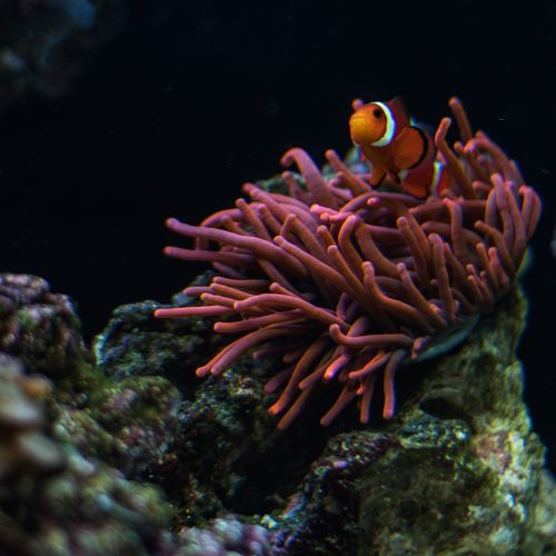 Nemo Fish Nemo Coral Aquarium Underwater Sea Life Orange Ecosystem  Clown Fish Fishtank Fish