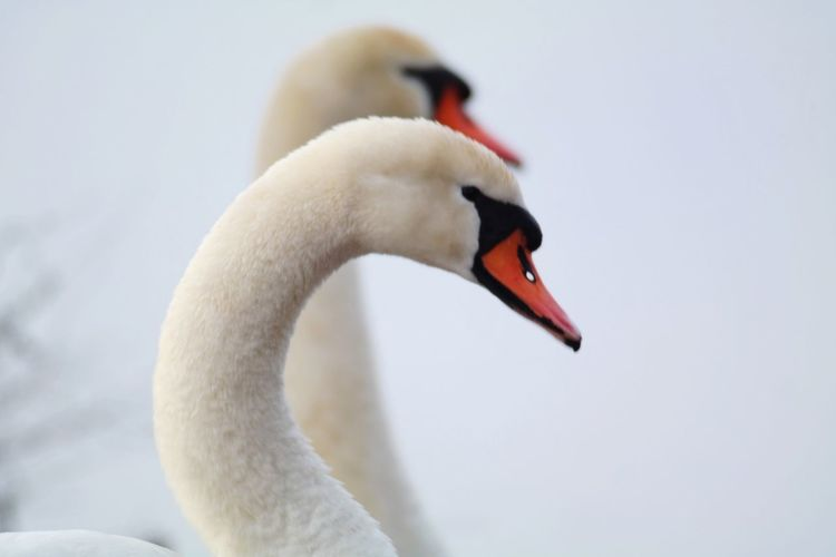 twins? Beauty In Nature Nature Photography My Point Of View Reinheimer Teich Focus On Foreground Animal Themes Close To You Swan Bird Young Animal Cute Young Bird Water Bird Close-up Animal Body Part White Swan Swimming Animal Freshwater Bird