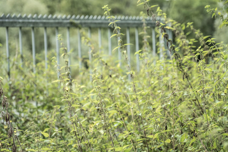 Barrier Close-up Day Forbidden Zone Grass Green Color Growth Nature No People Outdoors Plant Stinging Nettles
