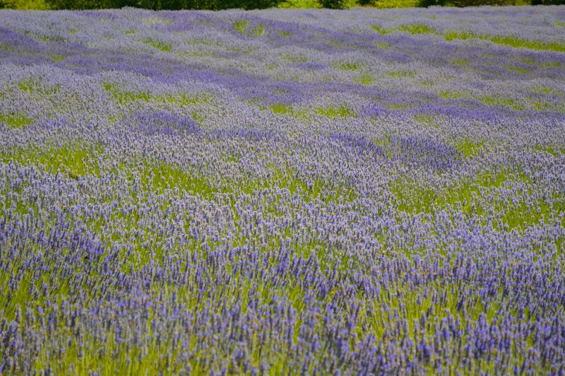 Lavender Farm Pelindaba Lavender Washington State Backgrounds Beauty In Nature Field Flower Flowerbed Flowering Plant Fragility Freshness Full Frame Growth Landscape Lavender Nature No People Outdoors Plant Purple San Juan Islands Scenics - Nature Springtime Tranquility Vulnerability