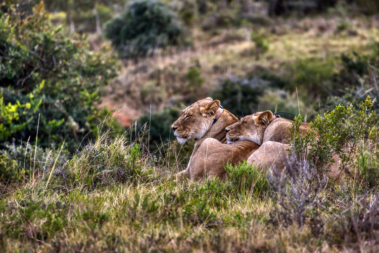 Lionesses resting in forest