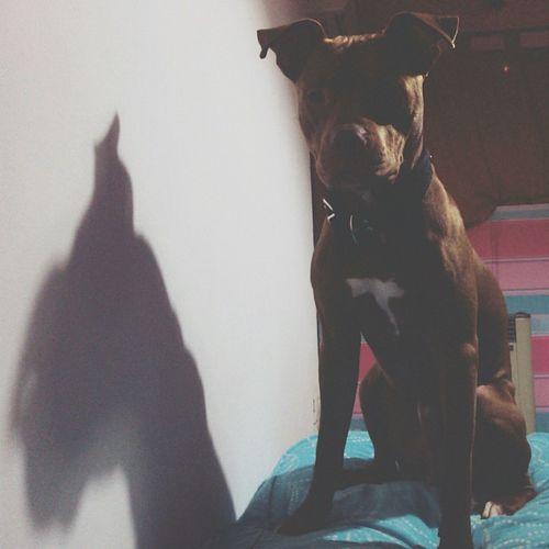 Pitbull Pets Pets And Animals My Love