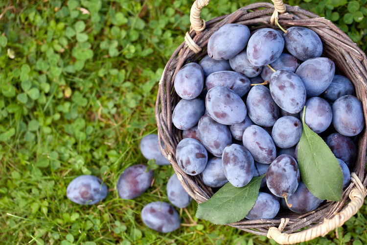 Directly Above Shot Of Damson Plums In Basket On Grass