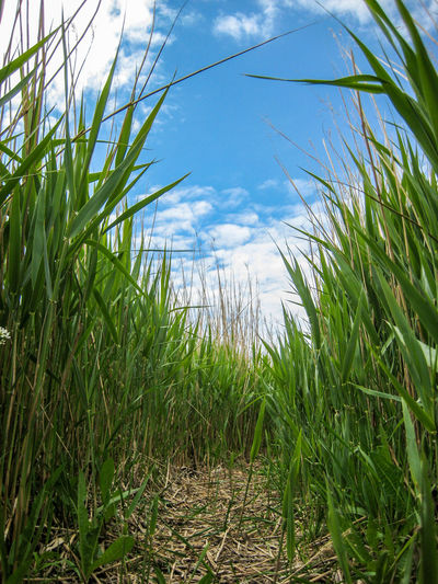 Agriculture Beauty In Nature Cereal Plant Close-up Crop  Day Field Grass Green Color Growth Nature No People Outdoors Plant Rural Scene Sky Tranquility