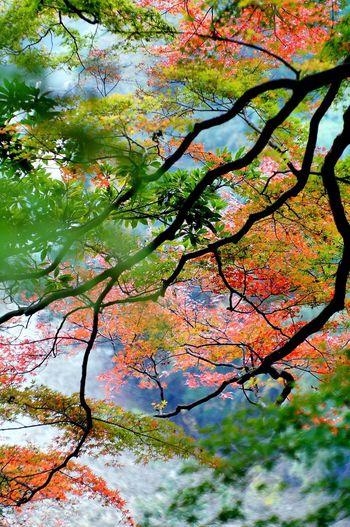 数年前の10月半ば頃に撮影したモミジ。真っ赤に色づいた写真もあるけど、今年 紅葉 したら公開予定。 Nature Japan Hello World OpenEdit ネガフィルム Nikkor.85mm.1:1.4 秋
