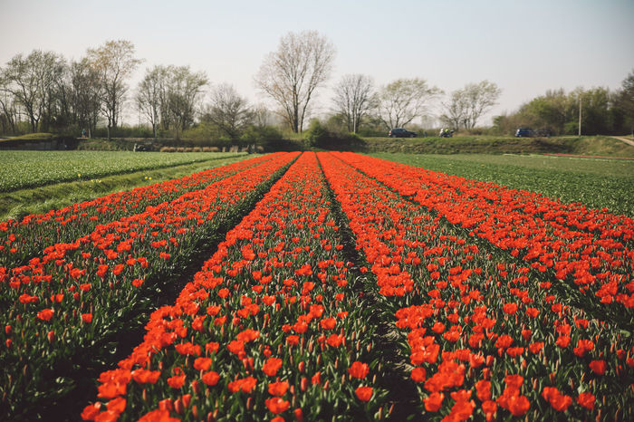 Beauty In Nature Blossom Clear Sky Field Field Fields Flower Flower Head Flowerbed Flowers Fragility Freshness Growth Nature Netherlands No People Outdoors Plant Rural Scene Scenics Spring Tranquil Scene Tranquility Tulip Tulips