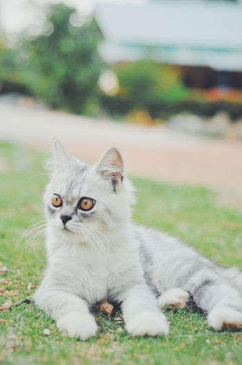 Portrait of white cat relaxing on field