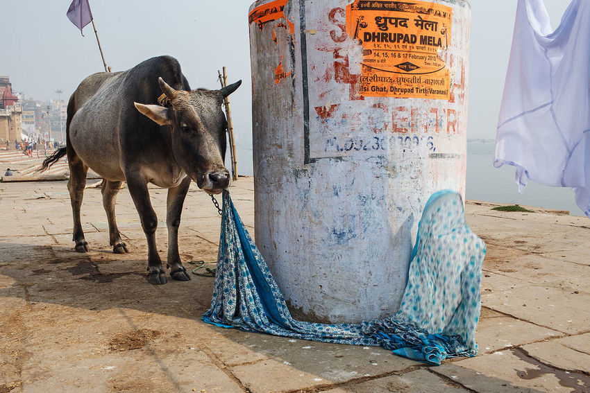 A cow on the Ganges river in Varanasi, India. India Varanasi Ganges Cow Streetphotography Street Photography