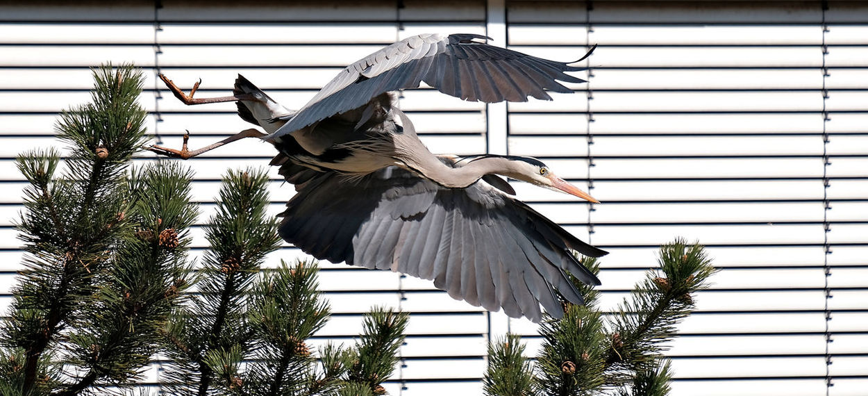 Animal Themes Animal Wildlife Animals In The Wild Bird Building Exterior Close-up Day Flying Heron Gray Heron Lines And Shapes Nature No People One Animal Outdoors Perching Shutters Spread Wings Stork Tree Vertical Lines White Stork Pet Portraits