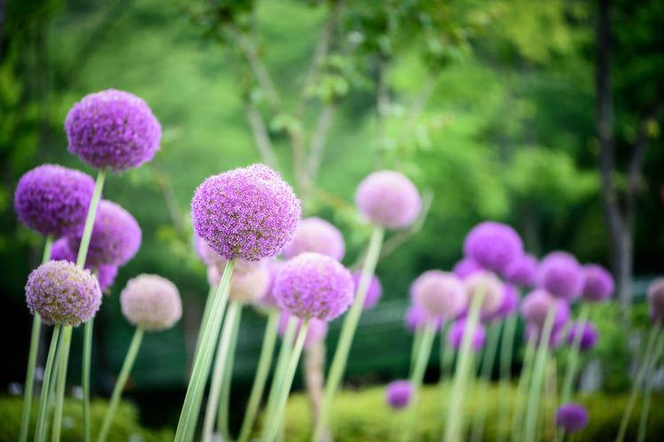 Allium giganteums growing in park