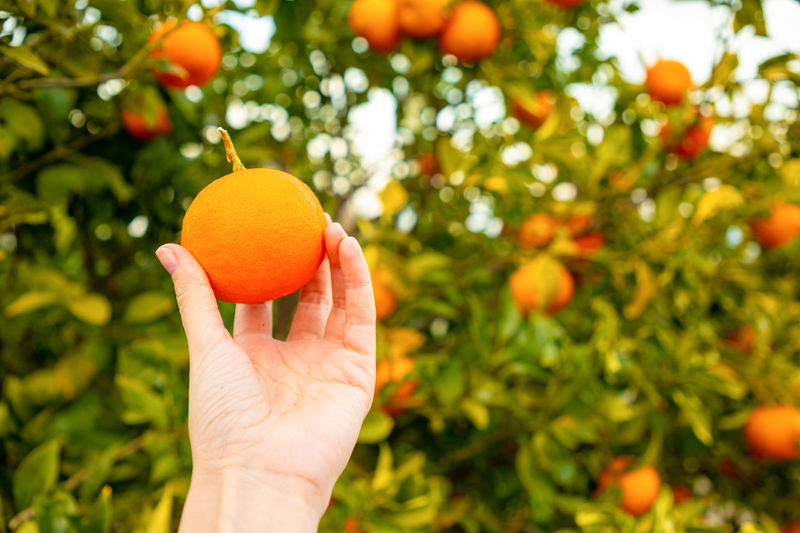 Italy Sicily Food And Drink Healthy Eating Fruit Food Hand Human Hand Orange Color Holding Tree Human Body Part Wellbeing Freshness One Person Plant Citrus Fruit Fruit Tree Nature Growth Orange Unrecognizable Person Organic Ripe Outdoors