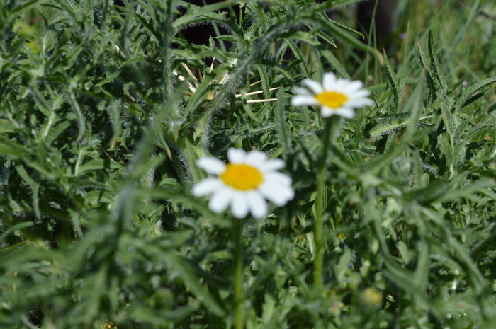 Beauty In Nature Blooming Casual Day Daisy Field Flower Flower Head Flowers And Plants Fragility Freshness Green Color Growth In Bloom Nature Nature Petal Plant Plants Plants And Flowers Pollen Selective Focus White Color White Flower White Flowers Yellow