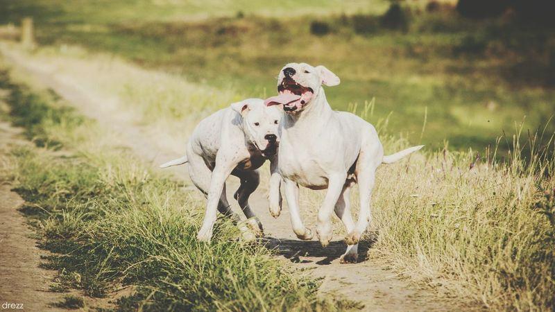 Dogs In Action Animals Dogo Argentino