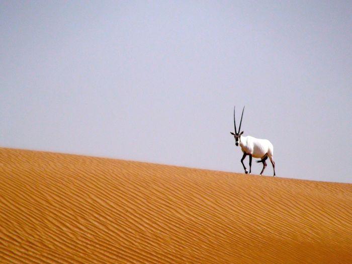 Arabian oryx walking in desert against clear sky