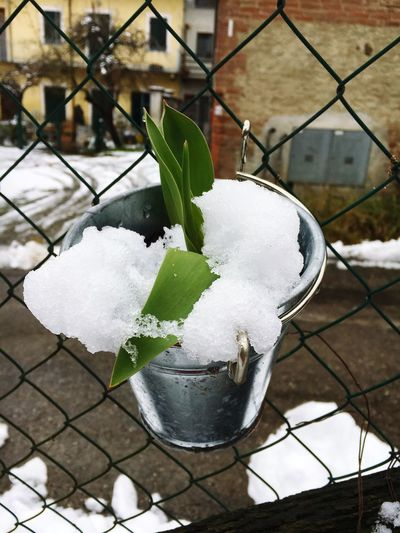 Tulipano innevato Neve Iphonephotography Nature Photography Flowers Tulips🌷 Garden Love Primavera Primaverando Creative Gardening