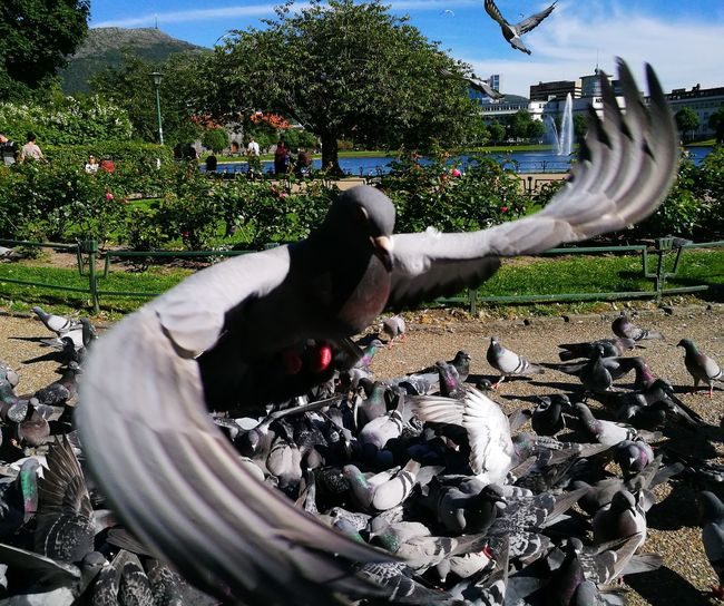 To feed pidgeons is relaxing after a bad and stressful day. Breathing Space Relaxing Relaxing Moment Animal Themes Day Domestic Animals Field Flying Flying Bird Lots Of Pigeons Nature Outdoors Pets Pidgeon  Pidgeons Pigdeon Sky Tree Pet Portraits The Week On EyeEm A New Perspective On Life