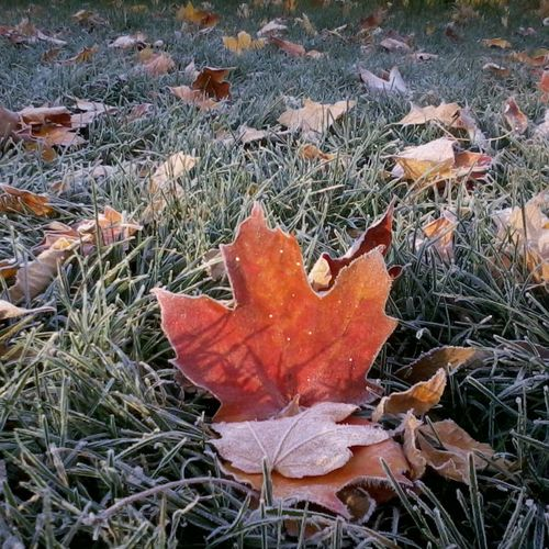 Autumn Leaf Nature Outdoors Close-up Plant Maple Leaf Beauty In Nature Cold Temperature Fragility Maple Frost Fall