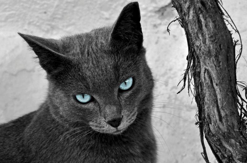 hypnotic blue eyes Portrait Photography Catportrait BlueEyes Beauty In Nature Blackandwhite Photography Mammal Feline Nature Close-up