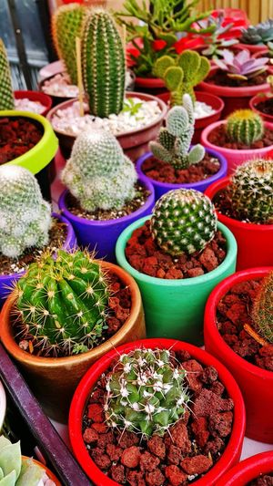 High Angle View Of Cactus In Flower Pots