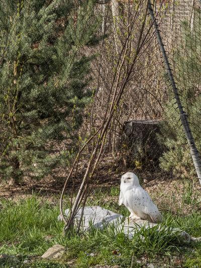 Snowowl Zoo Animal Animal Themes Bigbird Bird Birds Day Grass Land Nature One Animal Owl Plant Snowowl Tree Vertebrate