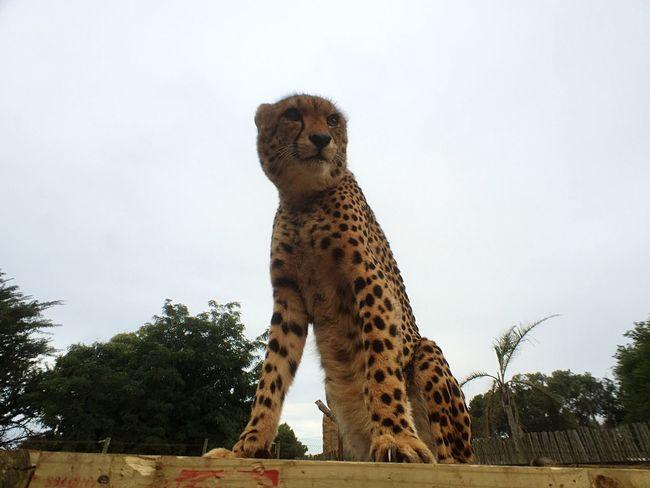 Cheetah ShotOniPhone6 Open Edit