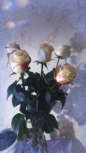 цветы розы белые цветы