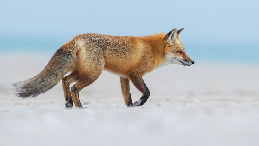 Red fox New Jersey Island Beach Fox Red One Animal Animal Animal Themes Snow No People Animals In The Wild Cold Temperature Side View Vertebrate Animal Wildlife Sky Environment Full Length Land Field Herbivorous Nature Mammal Standing Winter