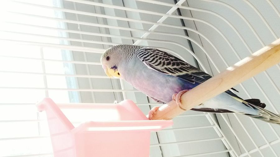 Low angle view of budgerigar in cage