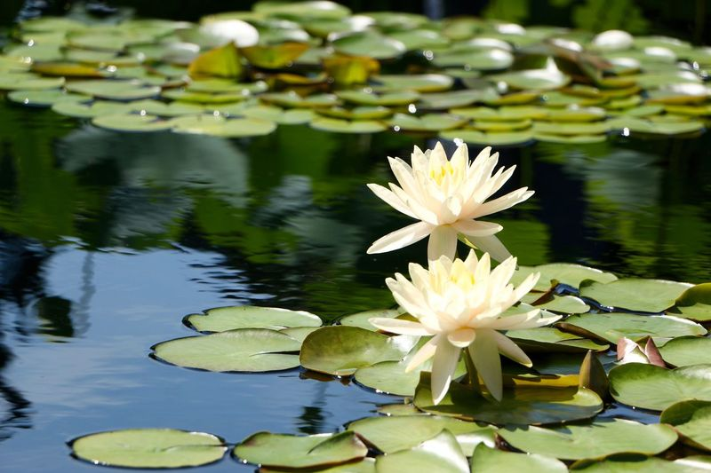 Pond Flower Water Lily Water Floating On Water Freshness Leaf Lake Lotus Water Lily Fragility Simplicity Growth Beauty In Nature Reflection Lily Pad Nature Petal Green Color Plant Close-up Botany No People Beauty In Nature Leaves Water Reflections