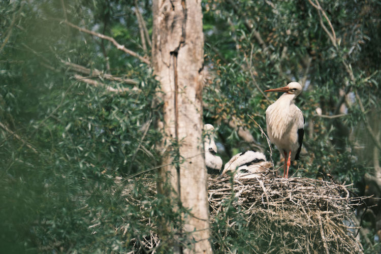 View of white stork family perching on tree