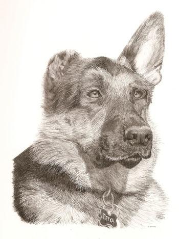 Charcoal drawing of a Katrina dog. 20 x 25 cm Charcoal Charcoal Drawing Charcoaldrawing Dog Dog Drawing Dog Portrait German Shepherd Realistic Art Realistic Drawing