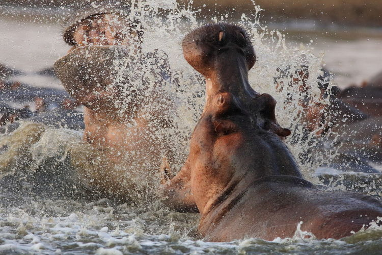 Hippopotamuses fighting in luangwa river