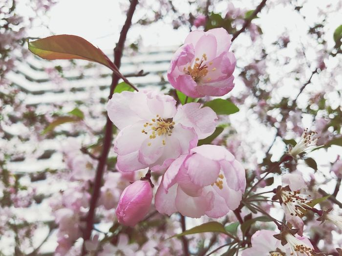 Plant Flower Flowering Plant Fragility Growth Freshness Pink Color Vulnerability  Beauty In Nature Petal Tree Close-up Branch Springtime Flower Head Nature Blossom Focus On Foreground