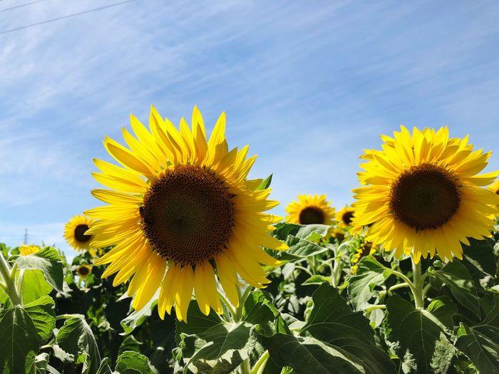 Yellow Sunflower Plant Flower Head Flower Growth Flowering Plant