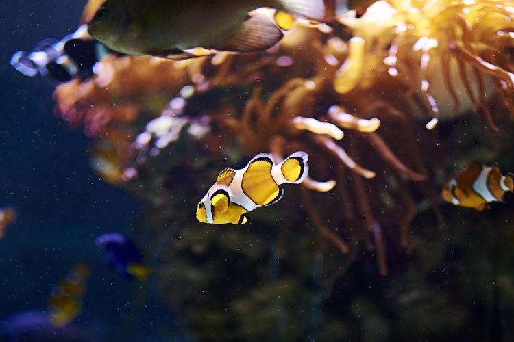 Clown fish swimming in the ocean, colorful, orange, sand, algae, light