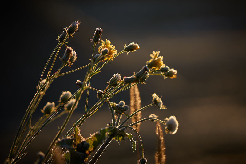 Autumn Colors Frozen November Sunset Sunset Silhouettes Autumn Flowers Beauty In Nature Branch Close-up Day Flower Flower Collection Flower Head Flowers Fragility Freshness Frost Sunset Frosty Flower Frosty Mornings Growth Nature No People November 2017 Outdoors Plant Twig