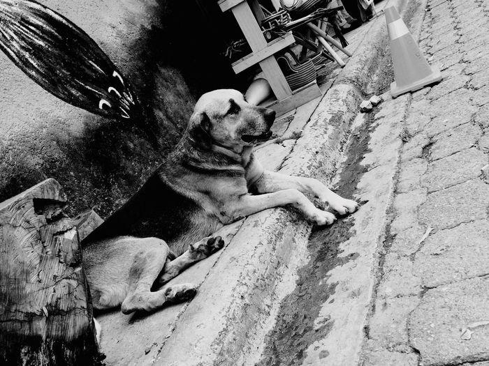 Honduras Streetphotography Street Dog Big Dog Black And White Black & White Homeless Homeless Dogs