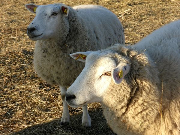 Animal Themes Livestock Domestic Animals Outdoors Togetherness Sheep January 2017 Winter 2017 How's The Weather Today? It Is Cold Outside Cold Temperature Beauty In Nature Sheep@Work Portrait Young Animal