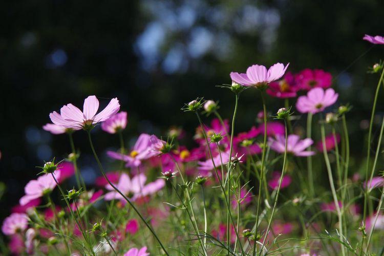 Flower 秋桜 コスモス畑 国営昭和記念公園 Pentax K-3