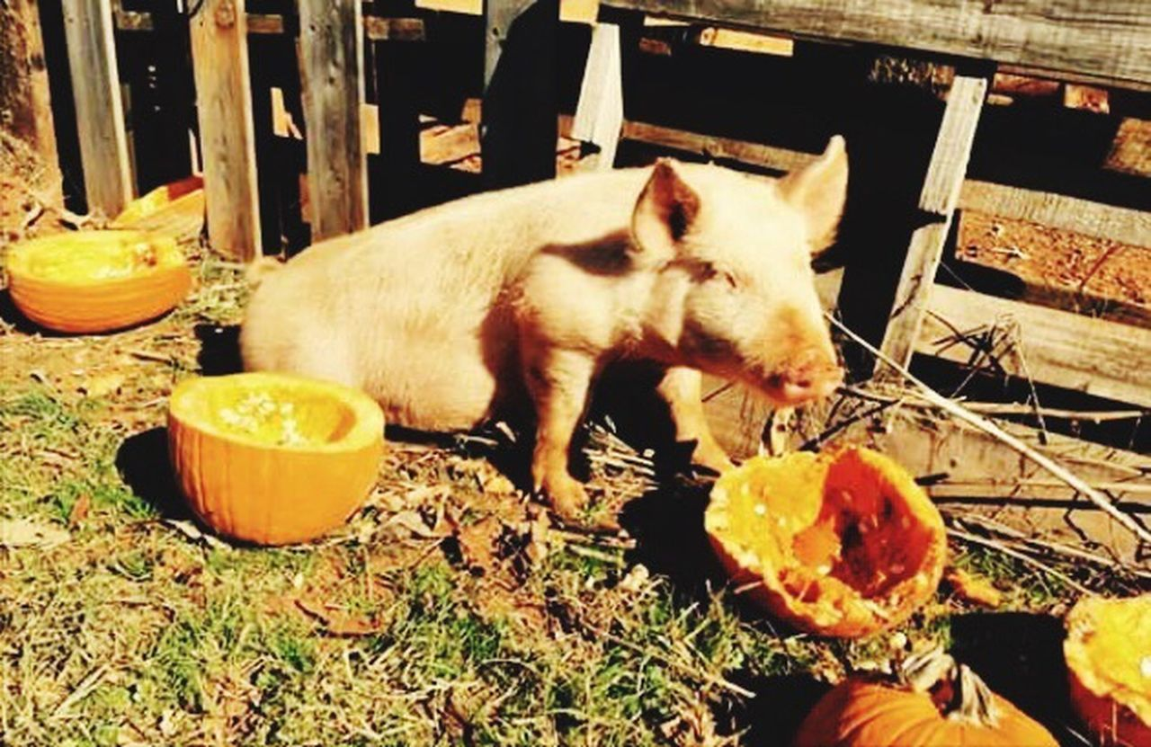 animal themes, one animal, food and drink, domestic animals, no people, food, fruit, outdoors, mammal, day, eating, healthy eating, close-up