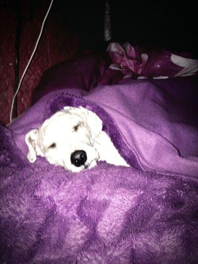 Canichetoy Dormido
