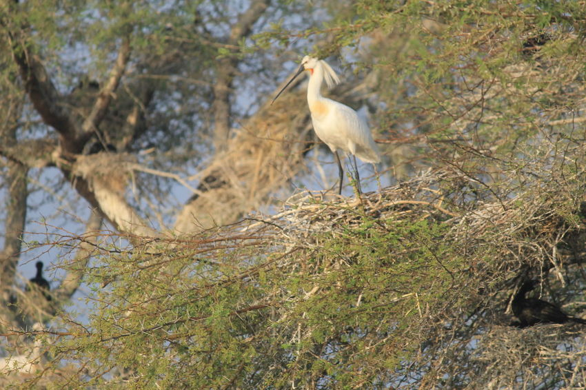 Spoonbill, birds, birdnest, Bird Photography Birdwatching