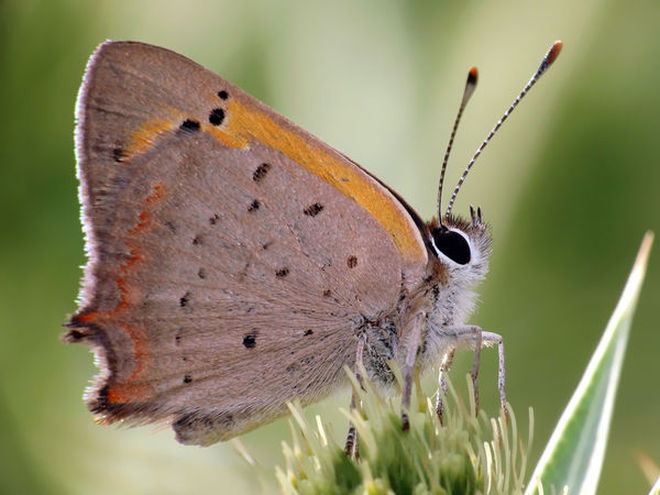 Lycaena phlaeas - Serchio river Insect Macro  Insecta Lycaena Lycaena Phlaeas Lycaeninae Papilionoidea American Copper Animal Themes Animal Wing Animals In The Wild Arthropoda Beauty In Nature Butterfly Close-up Common Copper Freshness Gossamer-winged Butterfly Hexapoda Insect Insect Close-up Lepidoptera Lycaenidae Nature Perching Small Copper