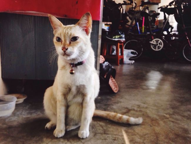 Silly cat White Cat Thai Street Cat Bangkok Sitting At Front Door Naughty Cat Hungry Wait For Food Thailand