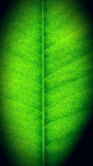 Green Color Close-up No People Leaf Nature Freshness Day Against The Light Weeping Fig Ficus Benjamina