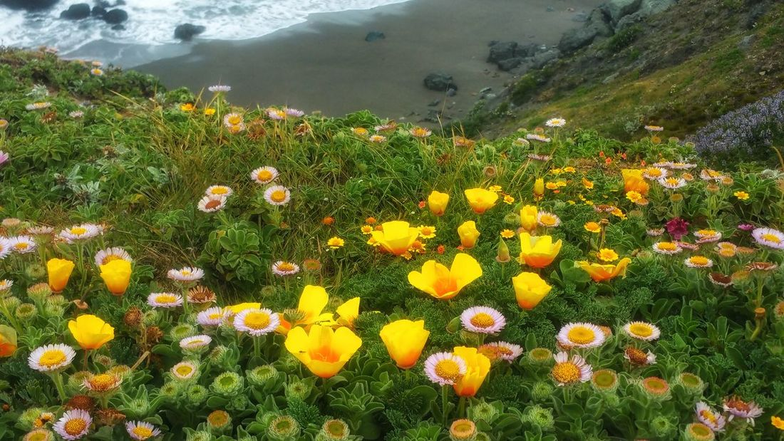 Wildflowers Abound! Cliffs edge overlooking the sea. Background Yellow Pink Zen Copy Space Timeless Headland Shimmering Flower Head Flower Water Yellow Mountain High Angle View Summer Grass Plant Close-up Wildflower Calm Uncultivated Tranquil Scene In Bloom Countryside Poppy Ocean Tranquility Flora Sandy Beach Foggy