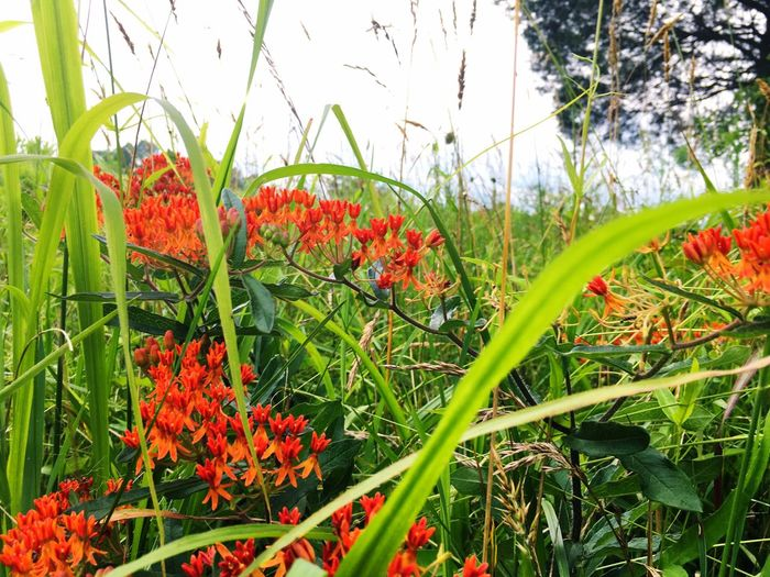 Close-up of red flowers blooming on field