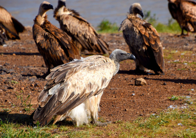 Africa Kenya Animal Themes Wildlife Vulture Feather  White Backed Vulture Bird Animal Vertebrate Animal Wildlife Animals In The Wild Group Of Animals Bird Of Prey Focus On Foreground No People Day Brown Zoology Outdoors Nature